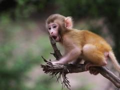 中国首例人类感染猴B病毒致死病例 这是什么情况?(图)